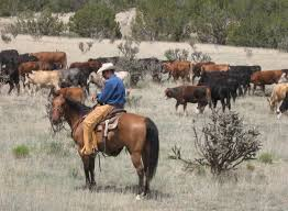 australian shepherd yellow boyd ranch llc commercial cattle ranch u0026 cow horses