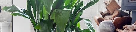 plant delivery iron plant delivery shop for iron plants online my city plants