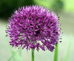 allium flowers planting bulbs allium with