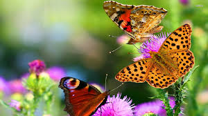 photo collection butterfly wallpaper best hd