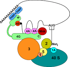 mechanism and regulation of translation in c elegans