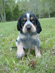 bluetick coonhound jack russell mix davis branch blueticks past puppies puppy pinterest