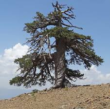 scientists find europe s oldest living tree in greece futurity