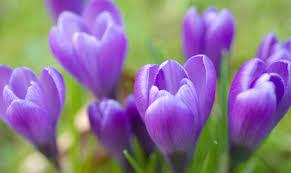 fiori viola bulbi invernali una tenera idea regalo www stile it