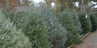lsu agcenter offers christmas tree selection care advice