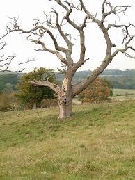 dead oak tree at pestalozzi david saunders geograph britain and