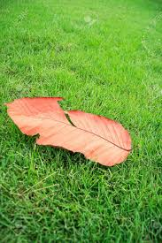 die leaf on grees grass dry leaf in the garden opposite color
