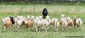 belgian sheepdog virginia client herding dogs