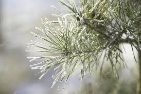 pine tree stock photo 2806171