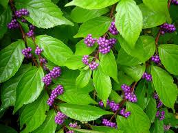shade tolerant native plants woody plants for shade part 3 carolyn u0027s shade gardens