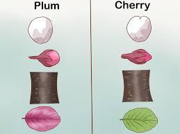 3 ways to identify cherry trees wikihow