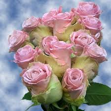 Global Roses Buy Light Pink Roses Wholesale Prices Global Rose