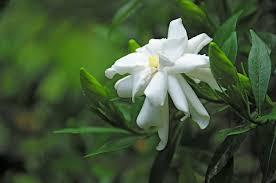 Fragrant Jasmine Plant - most fragrant flowers according to gardeners balcony garden web