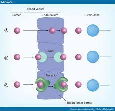 Blood Brain Barrier Anatomy Crossing The Blood Brain Barrier Nanotechnology Strategies
