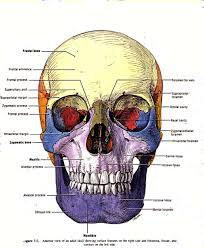 Dog Anatomy Organs Virtual Skull Anatomy Image Collections Learn Human Anatomy Image
