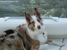 belgian sheepdog australia juares blog red merle australian shepherd