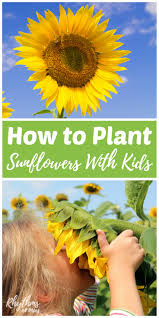 sunflowers facts for kids tags sunflowers for kids lent coloring