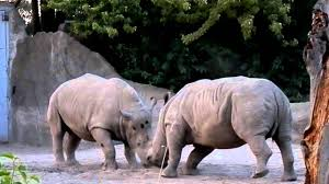 rhinos butting heads detroit zoo from llabmik productions youtube