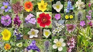 Identify Flowers - himalayan flowers a collage of 300 himalayan flowers herbs