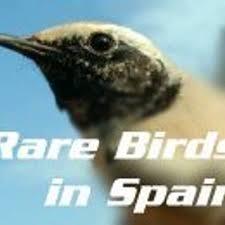 rare birds spain rarebirdspain twitter
