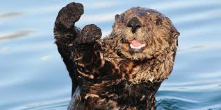 Sea Otter Meme - sea otters restoring the balance 5 question for dr brent hughes