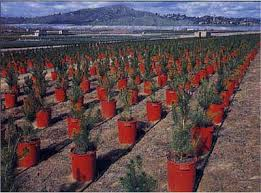 research update u0027grinch u0027 fungus threatens christmas trees