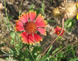 a wandering botanist plant story beautiful blanket flower