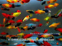 18 best images about platy on tropical fish
