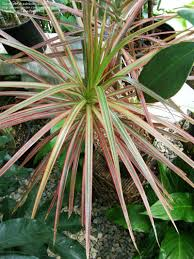 Dracaena Marginata Plantfiles Pictures Dracaena Red Margined Dracaena Dragon Tree
