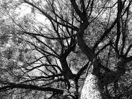 free black and white tree images pictures and royalty free stock