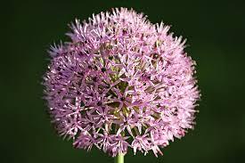 free photo ornamental allium blossom free image on