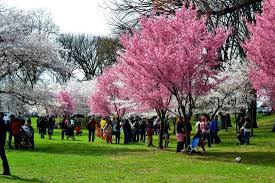 cherry blossom trees picture of branch brook park newark