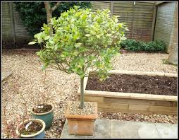 best small trees for pots foot palm tree plants