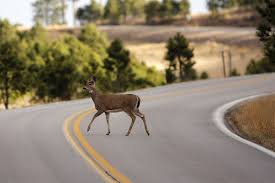 South Dakota wildlife images Car deer collisions most likely in south dakota in november jpg