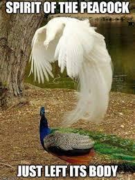 Peacock Meme - th id oip ickyd6pd gp pde4fved0ahaj3