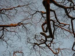trees of winter the hazel tree