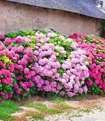Pflanzen Fur Japanischen Garten 3 Freiland Hortensien Hecke U0027pink Rosé U0027 3 Pflanzen Günstig Online