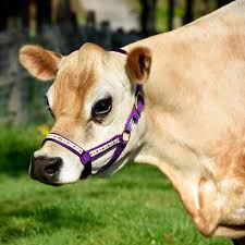 cow ribbon ribbon halter in 4 colors for mini cows mini cattle supply