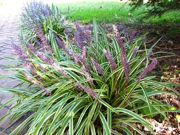 ornamental grass plants