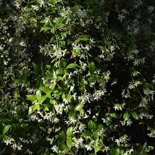 star jasmine on trellis star jasmine central texas gardener