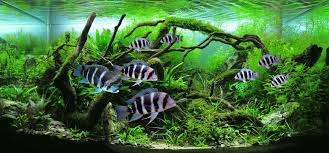 Dramatic Aquascapes Video Frontosa In A Planted Tank