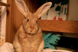 like a bunny bunny looks like a real velveteen rabbit u2014 the daily bunny
