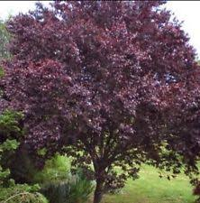 1 cherry plum tree seedling prunus cerasifera fragrant