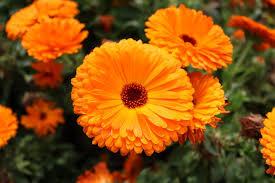 calendula flowers free photo orange calendula flowers free image on pixabay