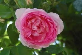 5 favorites a rose for all regions northeast us edition gardenista