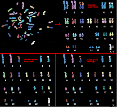 Chromosome Color Blindness The Genetics Of Calico Cats
