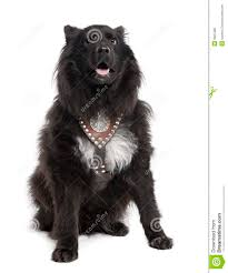 belgian shepherd lab mix mixed breed dog between keeshond and a sheltie 6 royalty free