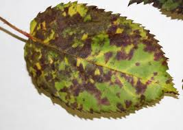leaf spot disease of trees and shrubs