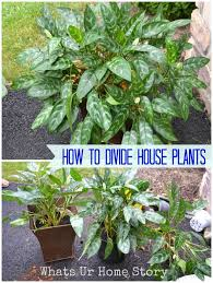 home plants how to divide house plants whats ur home story