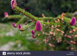 young branch of spruce tree with conifer cones focused on single